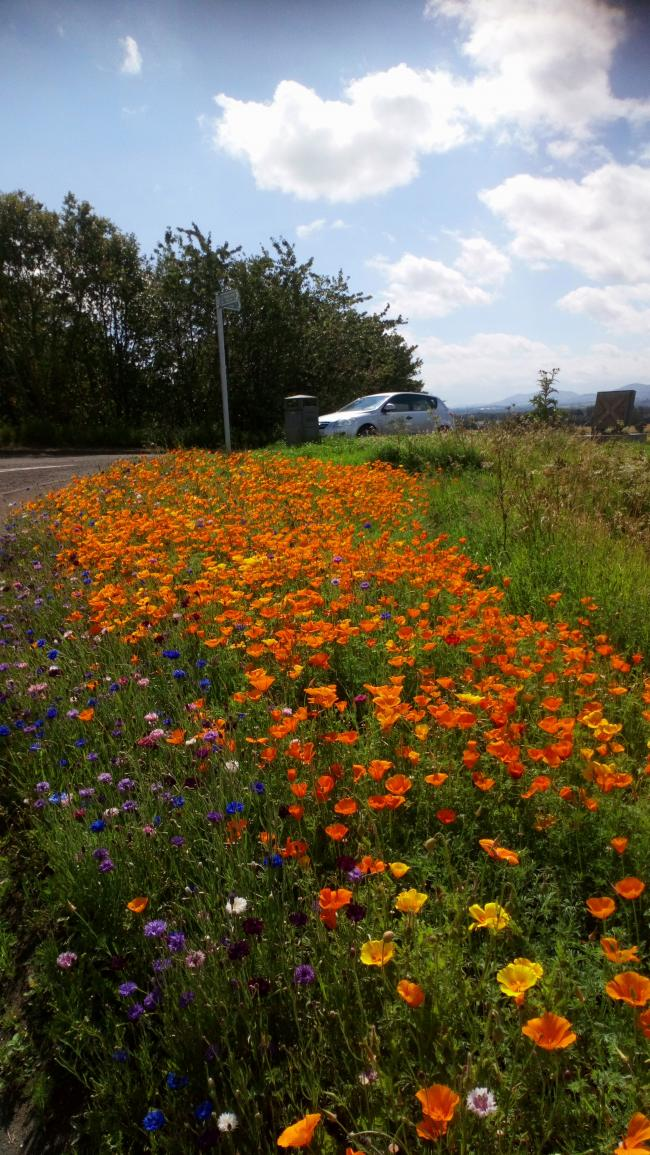 The wildflower garden which marks the Battle of Pinkie Cleugh near Wallyford is in full bloom.