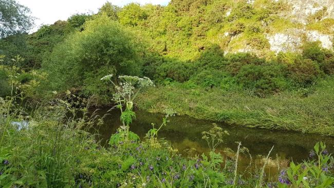 Work is continuing to eradicate giant hogweed from the banks of the River Tyne