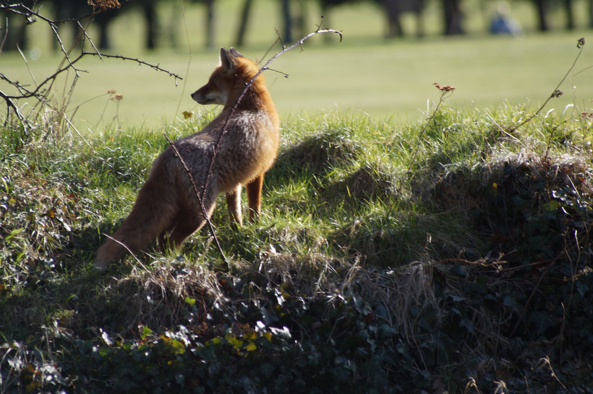 Jim Nisbet captured this fox on the banks of the River Esk